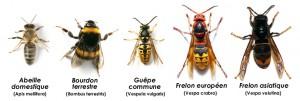heminopteres